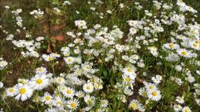 Blumenwiese Landschaft mit Kamille Sommer stock video