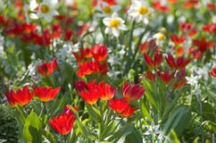 Blumenwiese tulpen Stock Images