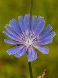 Blumenzichorie Lizenzfreie Stockfotografie