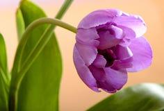 Blumenzusammensetzung der blühenden botanischen Tulpe Stockfotos
