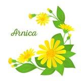 Blumenzusammensetzung mit Heilpflanze Niederlassungen der Arnika mit Blumen, den Knospen und den Blättern Auch im corel abgehoben Lizenzfreie Stockfotografie