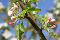 Bluming apple tree Stock Photo