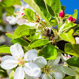 Bluming apple tree Stock Photos