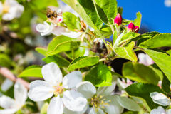 Bluming apple tree Royalty Free Stock Image