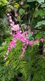 Blunch blommarosa färger Royaltyfri Fotografi