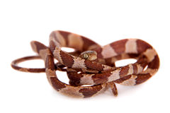 The blunthead tree snake on white Stock Photos