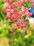 Blur background of beautiful group of flowers Chinese honey Suckle Stock Photo