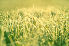 Blur background from a grass in snow Royalty Free Stock Images