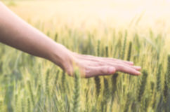 Blur background of Hand in wheat field when go to heaven Stock Images
