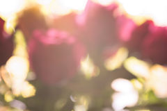 Blur background of rose Stock Photos