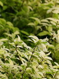 Blur background from variety of green plant leaves shallow depth of field Royalty Free Stock Photography