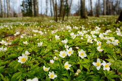 Blur background of white flowering anemones Stock Photography