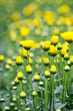 Blur backgroung of yellow flower Royalty Free Stock Photos