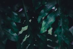 Blur closed up green leaf background. Selective focus closed up tropical summer green leaf background with dark color tone royalty free stock photo