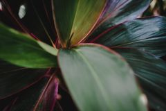 Blur closed up green leaf background. Selective focus closed up tropical summer green leaf background with dark color tone royalty free stock images