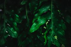 Blur closed up green leaf background. Selective focus closed up tropical summer green leaf background with sunlight royalty free stock images