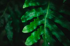 Blur closed up green leaf background. Selective focus closed up tropical summer green leaf background with sunlight royalty free stock photo