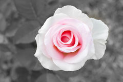 Blur and color filter background. Pink rose. Stock Photography