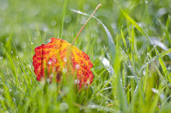 Blur colorful autumn aspen tree leaf in dewy grass Stock Photos