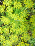 Blur. Detail of dill flowers close. blurred. Blur imadge. Dill. Anethum graveolens in garden. Florescence fennel seeds with ripe autumn Stock Image