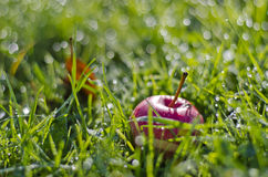 Blur dewy grass background with red apple Royalty Free Stock Photo