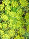 blur El detalle de las flores del eneldo se cierra enmascarado Imagen de archivo