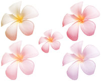 The blur Frangipani Flower or Plumeria flower on whiteBackground wit Royalty Free Stock Photography