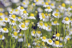 Blur fresh chamomile medical flowers blossoming background Royalty Free Stock Image
