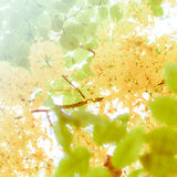 Blur golden shower tree Royalty Free Stock Images