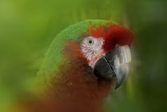 BLUR) The Great Green Macaw Royalty Free Stock Photography