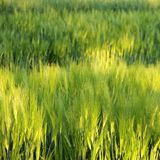 Blur Green Barley field Royalty Free Stock Photos