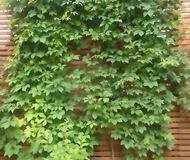 A green hop picturesquely plaited a vertical surface. Blur. A green hop picturesquely plaited a vertical surface made of light brown wooden slats royalty free stock photos
