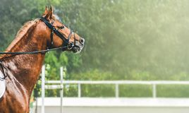 Sorrel horse during showjumping competition. Side view head shot of a beautiful chestnut stallion. Blur green trees and sun rays as background. Copy space for stock photo