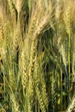 Blur Green young Barley field start grain growth Royalty Free Stock Images