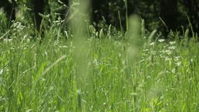 Blur high green grass swaying in the wind. Focus moves from foreground to back. Background, abstraction stock video footage