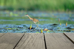 Blur image of terrace wood and bird in the pond (Bronze-winged Jacana) Royalty Free Stock Image