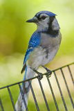 Blur Jay Royalty Free Stock Images