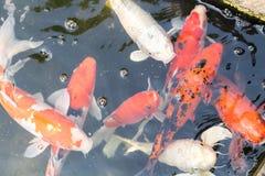 Blur koi fish swimming in water.  stock images