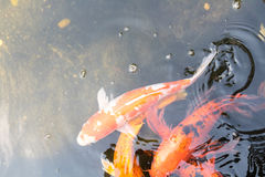 Blur koi fish swimming in water with sun light.  Royalty Free Stock Photos