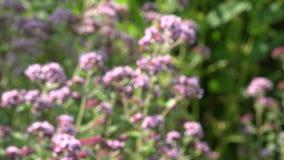 Blur medical herbs wild marjoram oregano flowers. 4K stock footage