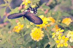 Blur motion of Red butterfly flying over Hedge flowers. Royalty Free Stock Photography