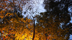 Blur nature yellow lighting on tree in the evening Stock Photo