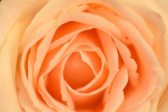 A blur of orange roses-super macro shot of flower for beautiful Royalty Free Stock Photo