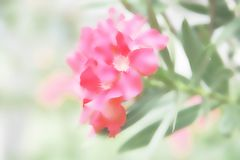 Blur of pink Oleander with blurred background. Blur of pink Oleander with absract blurred background royalty free stock images