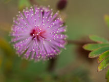 Blur of Purple Unwanted Flora Flower. Pollen Around Royalty Free Stock Photo