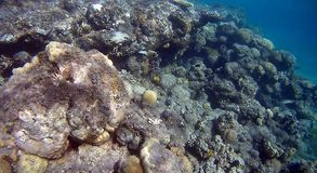 Colorfull Coral reef  in Red Sea. Underwater  coral reef with yellow,red,green hard and soft colorfull corals in clear blue water in the Red Sea Royalty Free Stock Photo