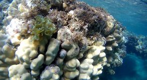 Blur colorfull Coral reef  in Red Sea. Underwater  coral reef with yellow,red,green hard and soft colorfull corals in clear blue water in the Red Sea Stock Images