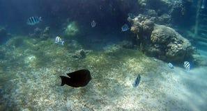 Blur semicolor Coral reef  in Red Sea. Underwater Blur semicolor  coral reef in the Red Sea Stock Image