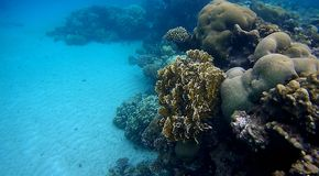 Colorfull Coral reef  in Red Sea. Underwater  coral reef with yellow,red,green hard and soft colorfull corals in clear blue water in the Red Sea Stock Images