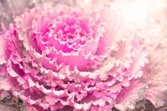Blur and soft ornamental cabbage sweet pink Stock Photos
